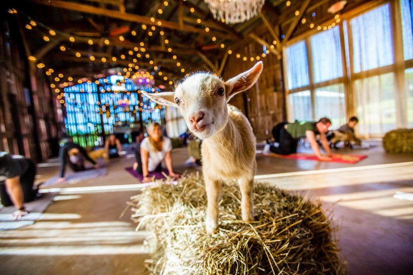 Goat Yoga to Benefit the Family Service Association